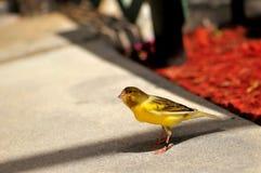 黄色金丝雀(雀类flaviventris) 库存照片