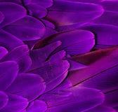 紫色金刚鹦鹉羽毛 免版税库存图片