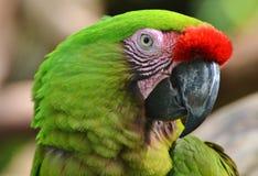 绿色金刚鹦鹉 图库摄影