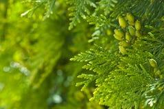 绿色金钟柏在公园 免版税库存照片