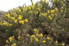 黄色金雀花在春天 免版税库存图片