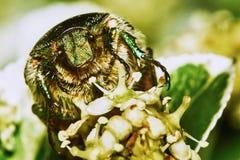 绿色金龟子 库存图片
