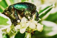 绿色金龟子 免版税库存照片