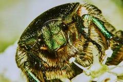 绿色金龟子 库存照片