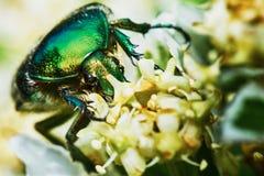 绿色金龟子 免版税库存图片