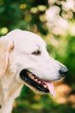 黄色金黄拉布拉多猎犬狗,顶头枪口画象  图库摄影