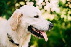 黄色金黄拉布拉多猎犬狗,顶头枪口画象  免版税库存图片