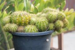 绿色金黄球仙人掌的宏观照片 免版税库存图片
