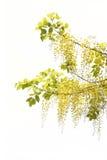 黄色金黄阵雨,桂皮瘘在白色bac的花孤立 免版税图库摄影