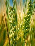 绿色钉麦子II 库存照片