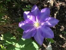 紫色铁线莲属花 免版税图库摄影