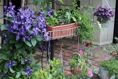 紫色铁线莲属 库存图片