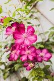 紫色铁线莲属 免版税库存图片