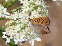紫色铜蝴蝶- Lycaena helloides 免版税库存图片