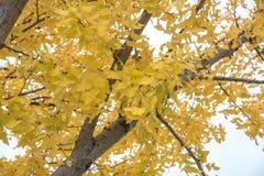黄色银杏树树在公园,日本 图库摄影