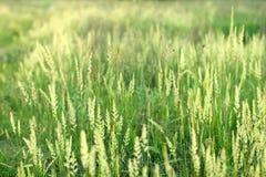 绿色锥体和草在夏天草甸。 免版税库存照片