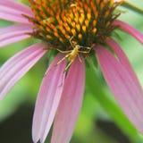 紫色锥体花和小黄色蚂蚱 免版税库存图片