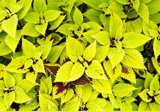 黄绿色锦紫苏 库存图片
