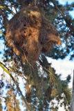 绿色长尾小鹦鹉的巨型巢 库存照片