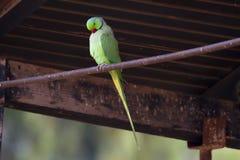 绿色长尾小鹦鹉 库存图片