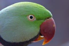 绿色长尾小鹦鹉 库存照片