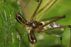 绿色长有下巴的蜘蛛(Tetragnatha) 免版税图库摄影