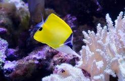 黄色长的鼻子蝴蝶 免版税库存图片