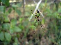 绿色长腿的蜘蛛 库存图片