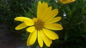 黄色阳台花 免版税库存照片