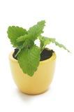 黄色陶瓷杯子的一棵植物。 免版税库存图片