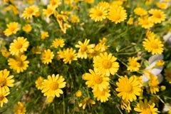 黄色雏菊在庭院,明亮的天光里开花草甸领域 美丽的自然开花的雏菊在春天夏天 免版税图库摄影