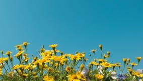 黄色雏菊开花与清楚的蓝天,明亮的天光的草甸领域 美丽的自然开花的雏菊在春天夏天 库存照片