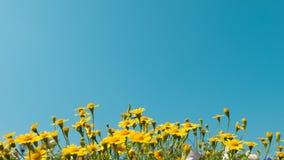 黄色雏菊开花与清楚的蓝天,明亮的天光的草甸领域 美丽的自然开花的雏菊在春天夏天 免版税图库摄影