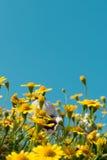 黄色雏菊开花与清楚的蓝天,明亮的天光的草甸领域 美丽的自然开花的雏菊在春天夏天 免版税库存照片