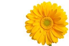 黄色雏菊拷贝空间 免版税库存照片