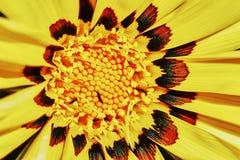 黄色雏菊杂色菊属植物 免版税图库摄影