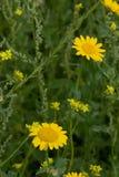 黄色雏菊的在草甸 免版税库存图片
