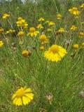 黄色雏菊的领域在树木繁茂区 库存照片
