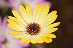 黄色雏菊花宏观夏天背景在水平的框架的 免版税库存图片