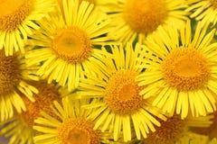 黄色雏菊花束  免版税图库摄影