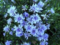 紫色雏菊花 库存图片