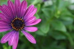 紫色雏菊被弄脏的绿色背景 库存照片