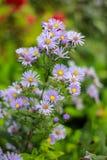 紫色雏菊 库存图片