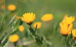 黄色雏菊 免版税库存图片
