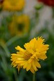 黄色雏菊 免版税库存照片