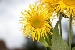 黄色雏菊 库存照片