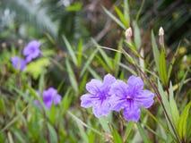 紫色雨花 Ruellia tuberosa青紫罗兰色颜色和叶子 库存图片