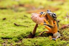 黄色雨蛙 免版税图库摄影