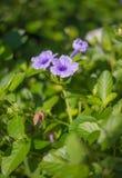 紫色雨 库存图片