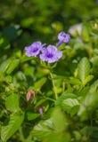 紫色雨 图库摄影